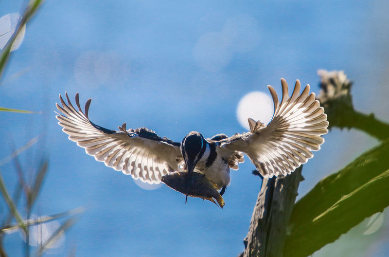 Low Angle View Of Bird Flying With Fish Against Sky