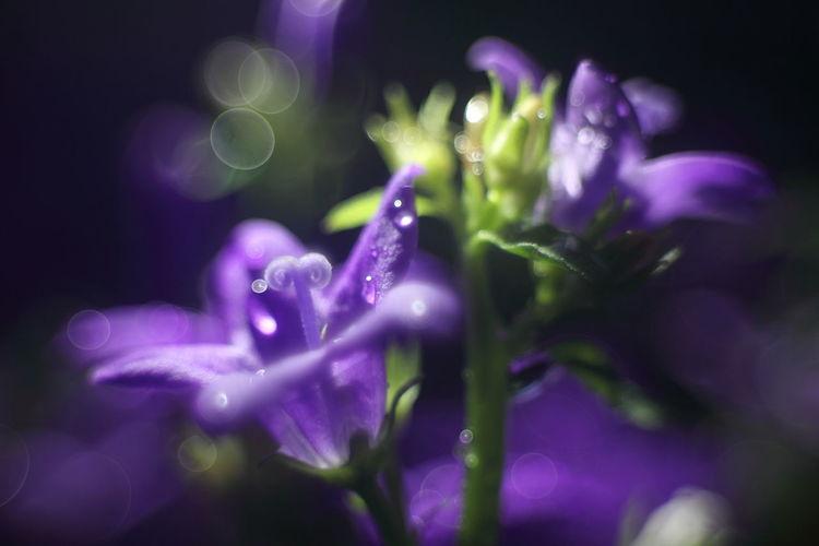 Close-up of wet purple crocus flowers at night