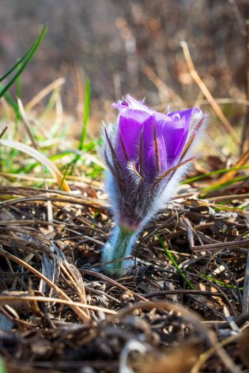 Great pasque flower. Flower Head Flower Purple Uncultivated Close-up Grass Flowering Plant Wildflower In Bloom Botany Blooming Plant Life