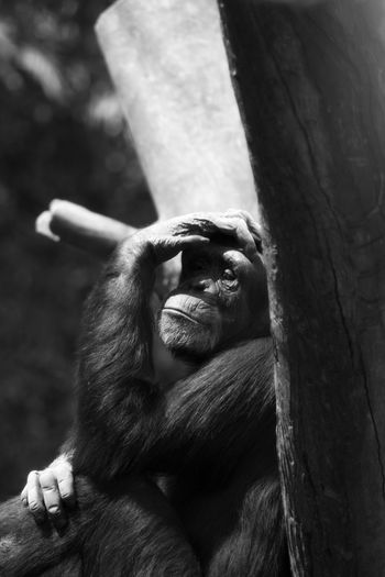 Close-up of chimpanzee sitting outdoors