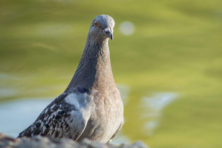 A pigeon posing