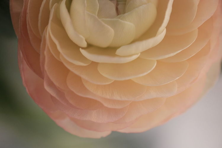 Close-up Beauty In Nature Fragility Vulnerability  Plant Flower Flowering Plant No People Nature Petal Pink Color Focus On Foreground Freshness Inflorescence Flower Head Studio Shot Rosé Outdoors White Color