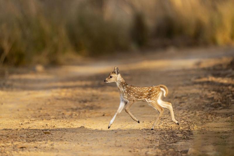 View of giraffe running on field