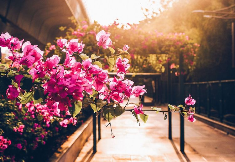 EyeEm Selects EyeEm Selects Flower Beauty In Nature Fragility Pink Color Nature Freshness Petal Sunlight Blooming Bougainvillea