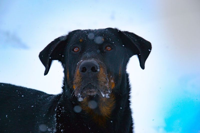 Domestic Animals One Animal Animal Themes Looking At Camera Portrait Mammal Pets Black Color Dog No People Close-up Snow Outdoors Day Sky Tree Trunk Animals In The Wild Beauceron Illuminated Mountain Beauty In Nature Mountain Range Winter Cold Temperature Nature