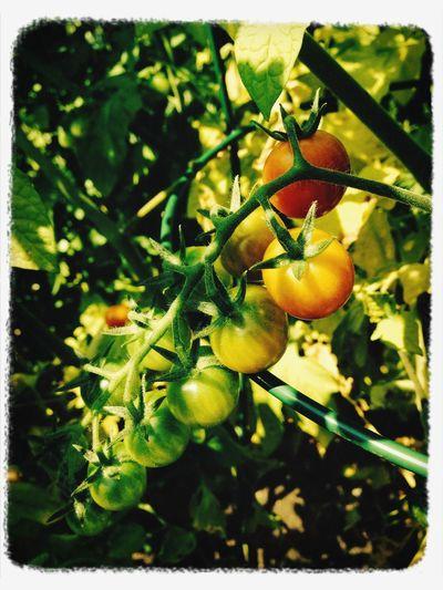 Tomatoes Garden sun lit green tomatoes