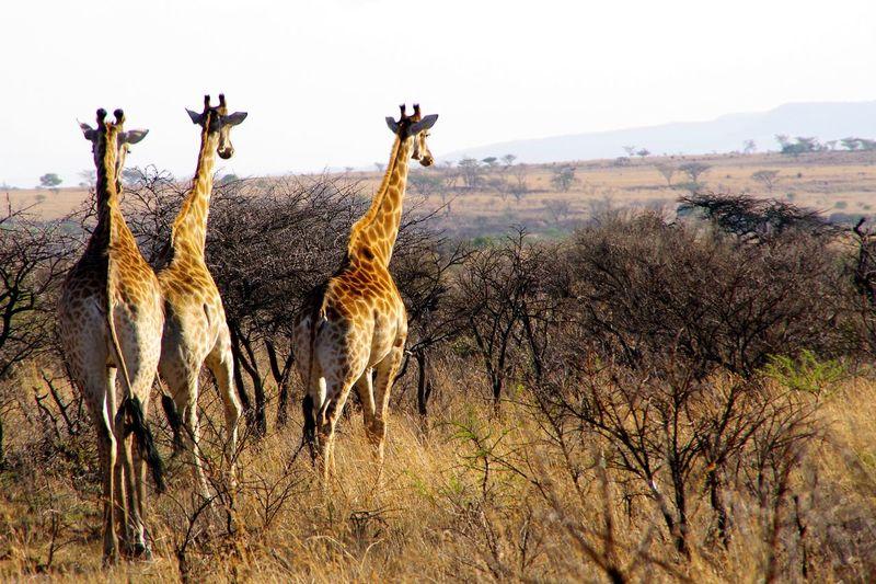 View of giraffe on field against sky