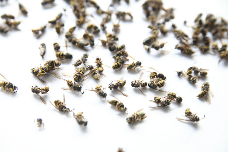 Many wasps fallen from the ceiling after being sprayed Abdomen Animals Bodies Close-up Dead Exoskeletons Group Indoors  Insect Heads Insects  Invasion Many Natural Light No People Sprayed Studio Shot Textures Wasps White Background Wings Yellow Jackets