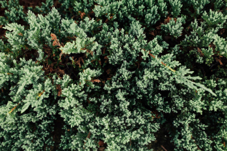 Close up texture of pine tree leaves,top view. Plant Growth Green Color Beauty In Nature Nature Full Frame No People Day Tree Close-up Plant Part Backgrounds Leaf Selective Focus Pine Textured