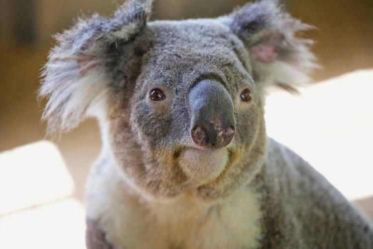 Close-up portrait of koala in zoo