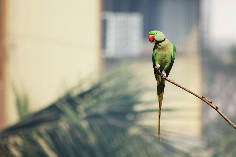 Indian parrot Parrot Bird Animal Wildlife Animals In The Wild Perching Birds🐦⛅ Beauty In Nature Wildlife Photography Animals In The Wild Animal Themes Birds Of Prey Birds Wildlife Flying EyeEmNewHere