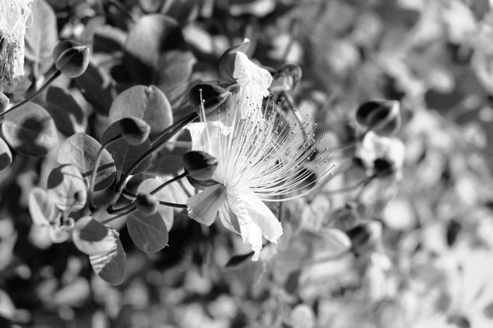 EyeEm Selects EyeEmNewHere Blackandwhite Caper Flower Southitaly Day No People