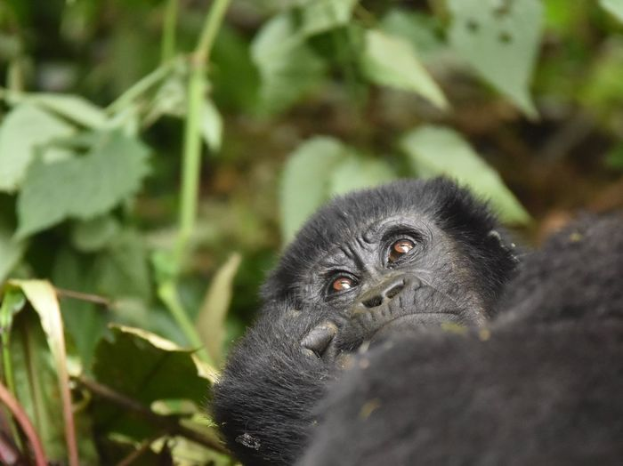 Close-up of gorilla in forest