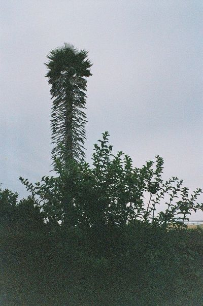 Palm Tree Expired Film 35mm Film Taking Photos