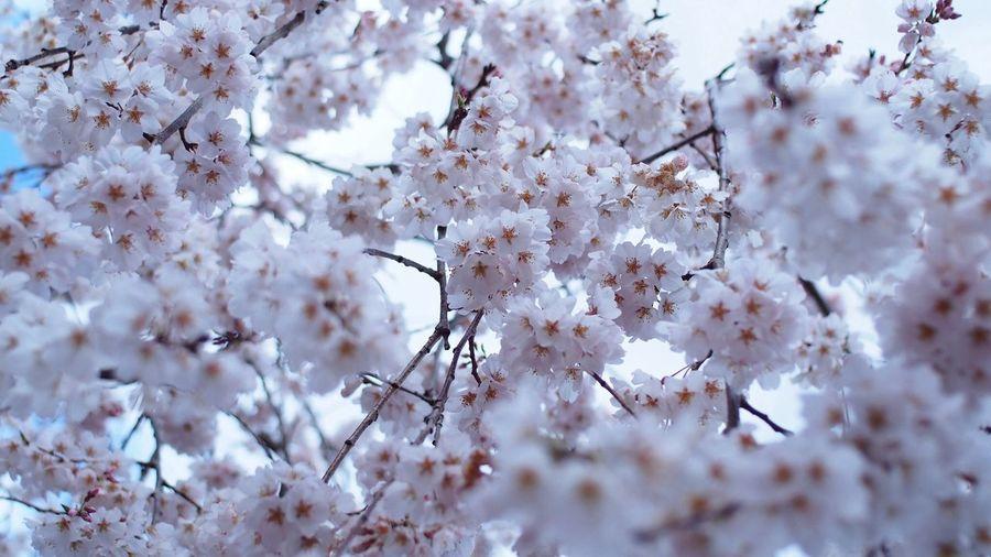 白化粧 EyeEm Flower White CanonFD  Streamzoo #oldlens