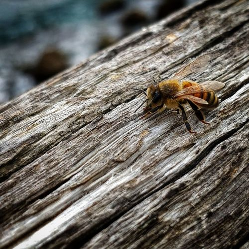 Bee Ape Insect