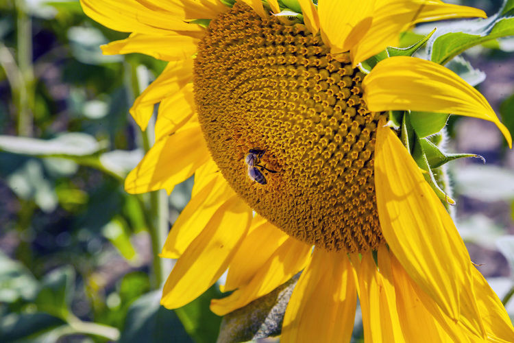 Flower Flowering Plant Yellow Freshness Flower Head Plant Fragility Petal Vulnerability  Beauty In Nature Close-up Inflorescence One Animal Growth Animal Wildlife Animal Themes Focus On Foreground Sunflower Animals In The Wild Animal Pollen Pollination No People Outdoors