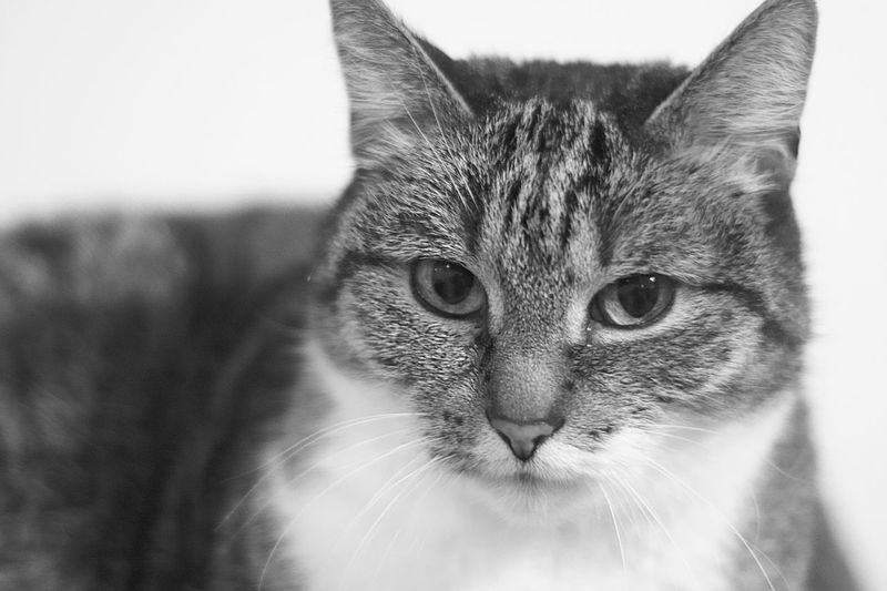 Domestic Cat Pets One Animal Domestic Animals Animal Themes Feline Portrait Indoors  Mammal Looking At Camera Close-up No People Day