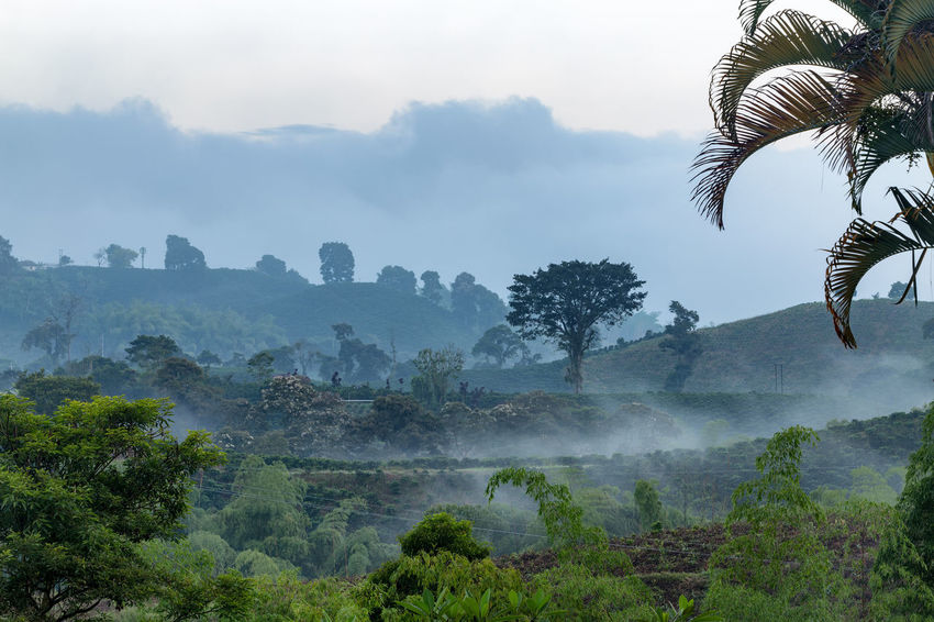 Mist lies over a coffee plantation near Chinchina, Colombia. Andes Caffeine Coffee Colombia Farm Latin Manizales Nature Plant South Travel America Arabica Bean Caldas Chinchina Colombian  Drink Landscape Mountain Organic Plantation Robusta Triangle Tropical