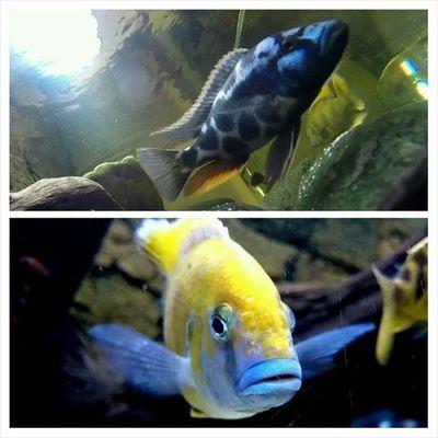 @magnumhex förhoppningsvis den översta då honan är samma art men båda tillhör Nimbochromis släkten.