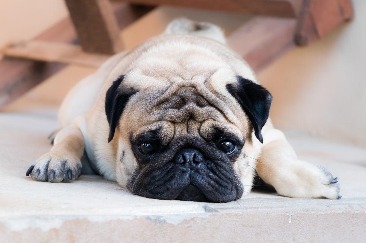en pugs guide till dating Deutsch