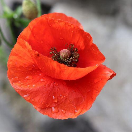 Poppy Poppy