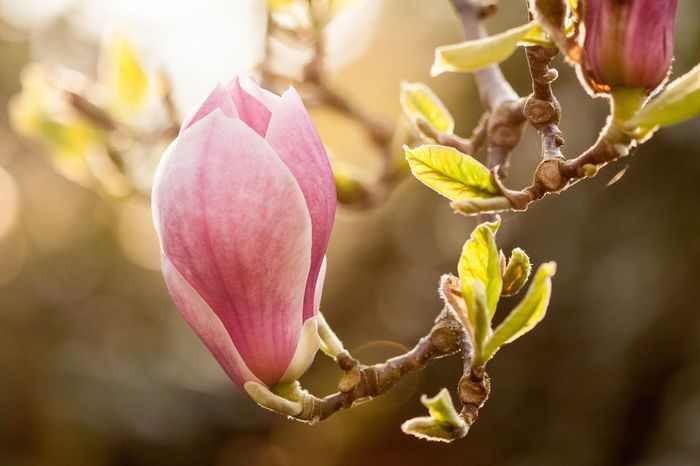 Nature The Greatest Artist Magnolia Spring Spring Flowers Evening Sun