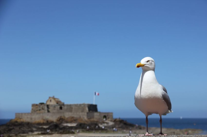 Möwe in Frankreich vor Burg mit Flagge, St. Malo, Bretagne, Aufpassen, bewachen, Wache, Symbolbild, Frankreich, ernst, Politik Political Europe Europa Holidays Wonderful Day Sea And Sky EyeEm Selects Animal Themes Animal Bird Vertebrate Animals In The Wild Sky One Animal Animal Wildlife Blue Clear Sky Seagull Nature No People Architecture Building Exterior Water Built Structure Copy Space The Great Outdoors - 2018 EyeEm Awards