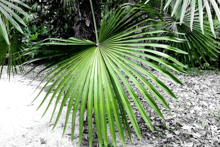 Une belle feuille de palmier Palm Tree Palm Leaf Green Color Black And White Photography La Bambouseraie Anduze Holiday Memories South France