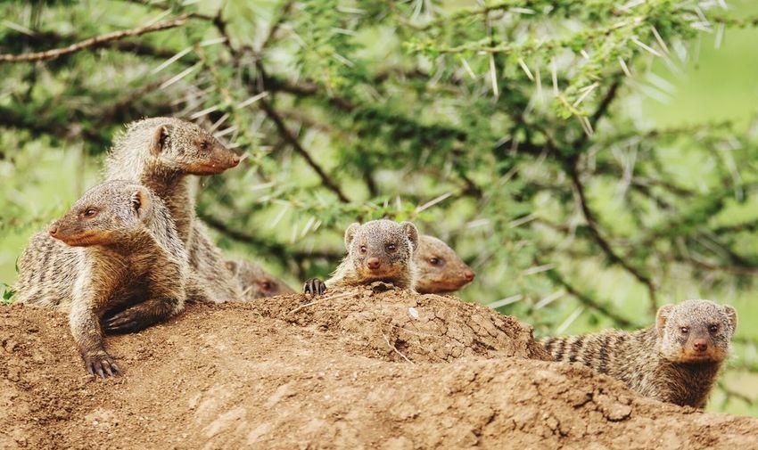 Mongooses At Den