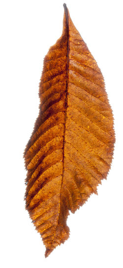 Autumn leaves isolated against a white background. Autumn Collection Autumn Colors Autumn Leaves Fall Colors Nature Autumn Brown Change Close-up Cut Out Cut Out On White Dry Fall Leaves Isolated On White Leaf Leaves Leaves_collection Nature Nature_collection Studio Shot White Background White Backround