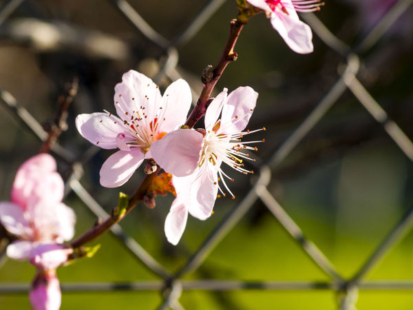 Almond Almond Blossom Beauty In Nature Blooming Blossom Botany Branch Close-up Contrast Flower Flower Head Fragility Freshness Growth Nature Metallic Fence Petal Pink Color Plum Blossom Rosaceae Spring Springtime Stamen Tree White Color Art Is Everywhere