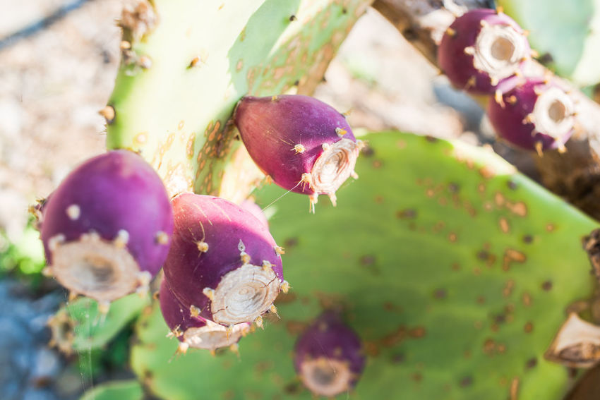 Indian Fig Opuntia Plant Portofino Natural Regional Park Prickly Pear Cactus Beauty In Nature Close-up Day Edible  Flower Flower Head Fragility Freshness Glochids Growth Nature No People Opuntia Outdoors Plant Purple Tuna