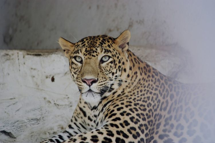 Leopard Wildlife Wild Animal Big Cat Big Cat Dairy Big Cat With Spots Big Cats Leopard Photo Wildlife Photography Wild Animals Close Up Leopard Cat Wild Animal Spotted One Animal Animal Wildlife Animals In The Wild Animal Themes Outdoors Close-up No People Day