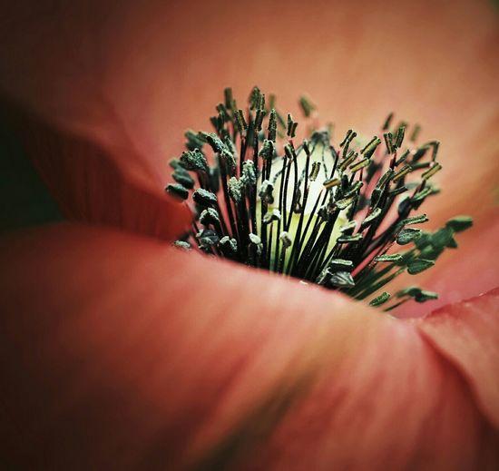 Macro Photography Great Outdoors - 2016 EyeEm Awards Poppy Flowers Blooming Flower Eyemnaturelover Macro