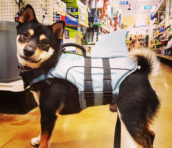 Mix Yourself A Good Time EyeEm Selects Day Mammal Animal Themes Shiba Inu Life Jacket Sharks Shark Attack Indoors  Dogs