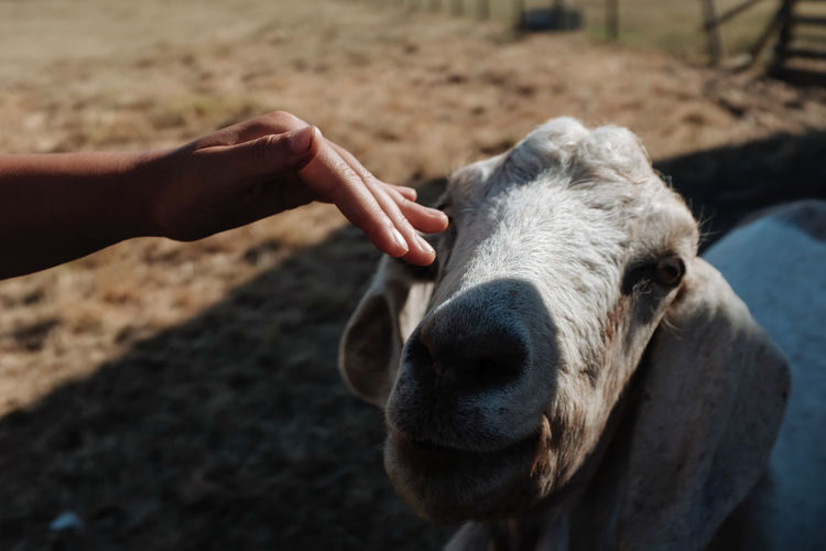 Cropped Hand Of Woman Reaching Goat