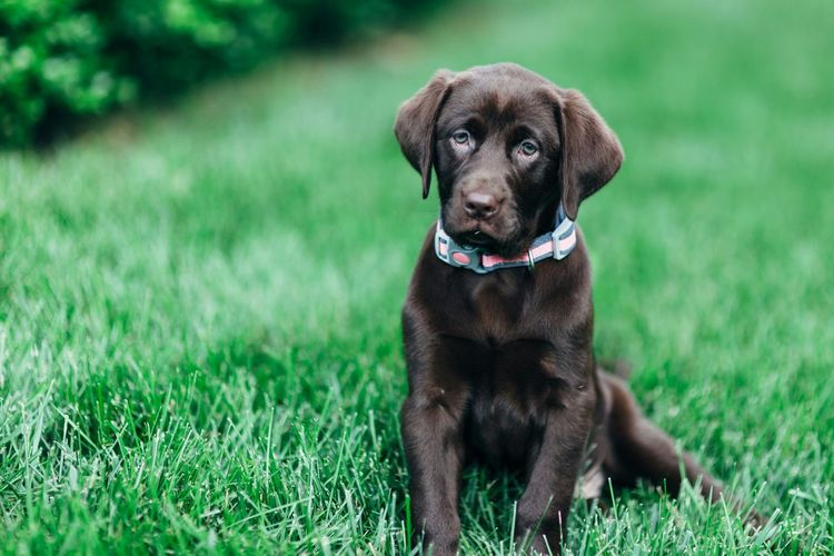 Chocolate labrador sitting on grassy field