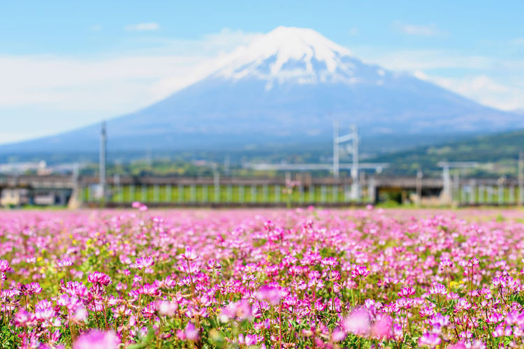 View of pink flowering plants on land