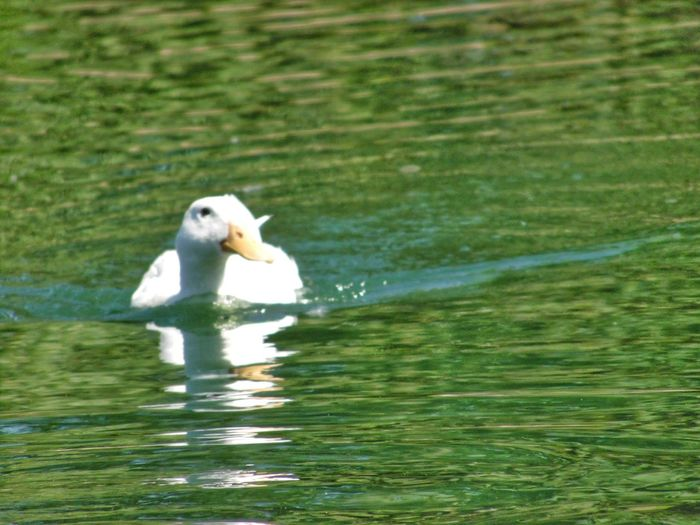One Animal Animal Wildlife Water Animal Animals In The Wild Outdoors Swimming No People Nature Mammal Day Animal Themes Bird Beauty In Nature Canonphotography My Hobby 😁 Camera Life Is My Life! Canon_photos Photographic Memory Close-up Ducks At The Lake