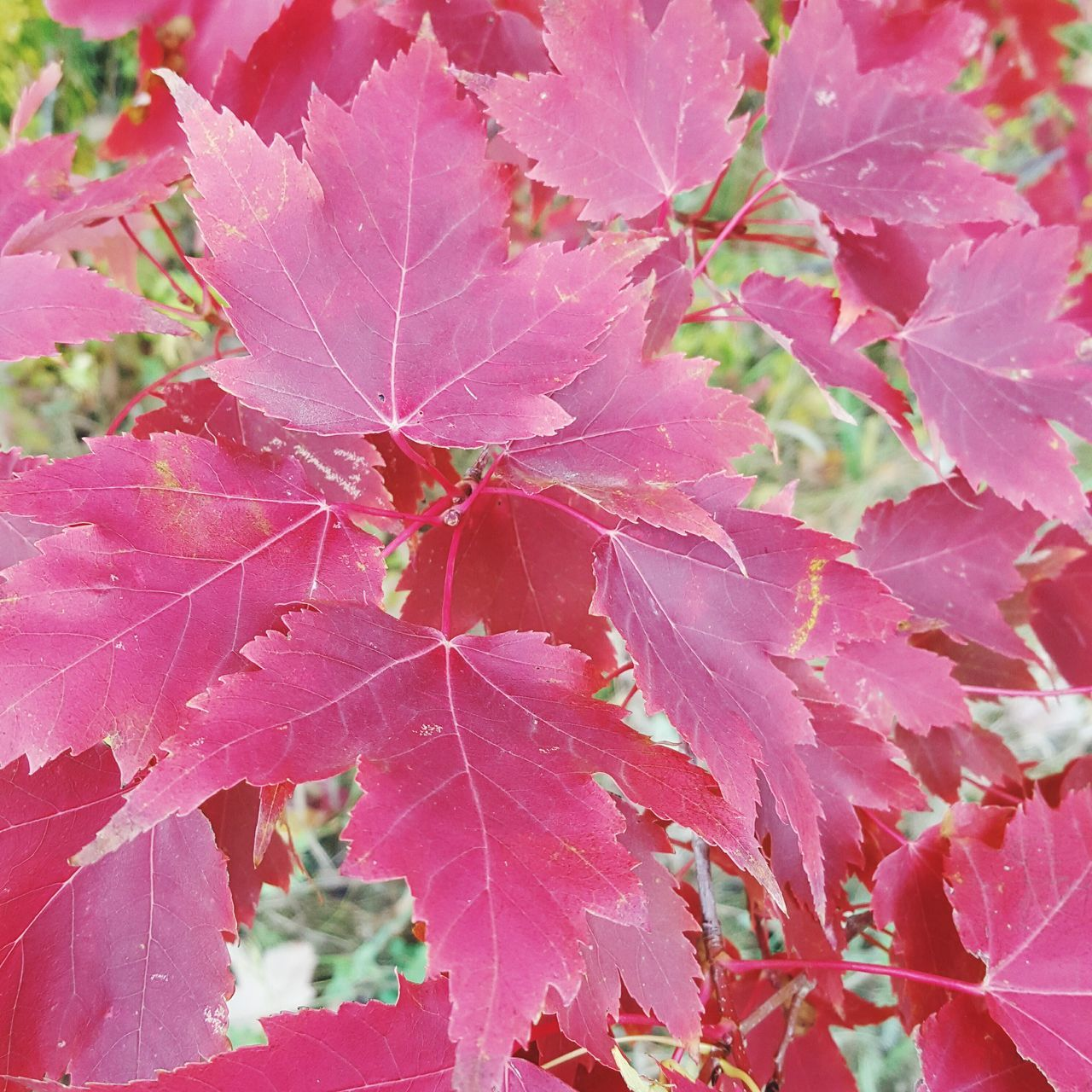 leaf, change, beauty in nature, nature, autumn, day, outdoors, pink color, no people, growth, fragility, close-up, maple leaf, plant, maple, tree