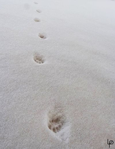 Animal Track Blanc Canada Chat Close-up Cold Temperature Day Empreinte Froid Félin  Nature Neige No People Outdoors Paw Print Sand Snow Track - Imprint Winter