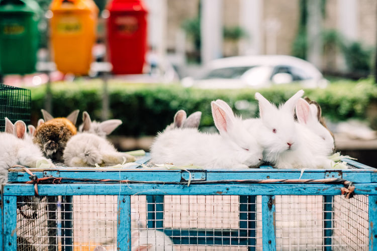 Flock of white rabbits in cage