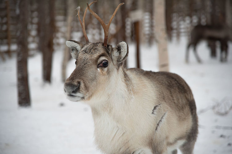 Young reindeer in rovaniemi, finnland
