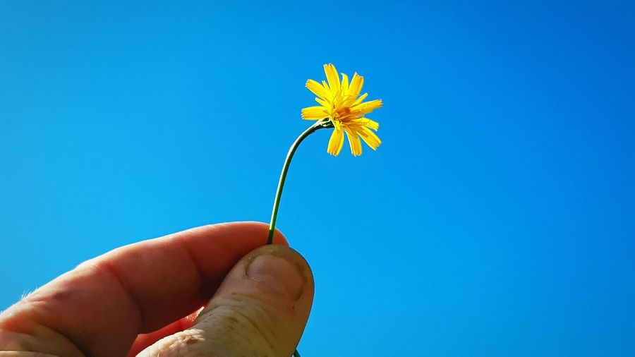 EyeEm Selects Human Hand Flower Head Flower Clear Sky Blue Fingernail Yellow Holding Personal Perspective Summer In Bloom Blooming Dandelion Wildflower Stem Single Flower Blossom Botany Plant Life
