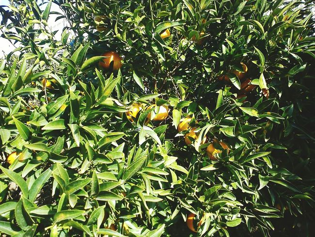 EyeEm Nature Lover Life In Colors Be Inspired Tree_collection  Nature Plants Are Friends Good Eating Beautiful Nature Mandarins Fruits
