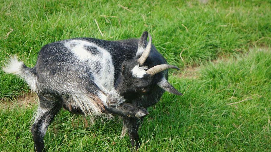Longleat Safari Park Goat Life Grass Close-up Eat Yo Self