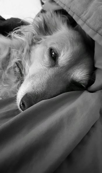 Animal Themes AntiM Close-up Day Dog Dog In Bed Dog Portrait Dog Portrait Eye4photography Eyeem Best Shots Dog Portrait Head, Black And White, Sad Mood. Dog Sleeping  Dogportrait Domestic Animals Indoors  Mammal My Dogs Are Cooler Than Your Kids No People One Animal Pets SweetSally Pet Portraits