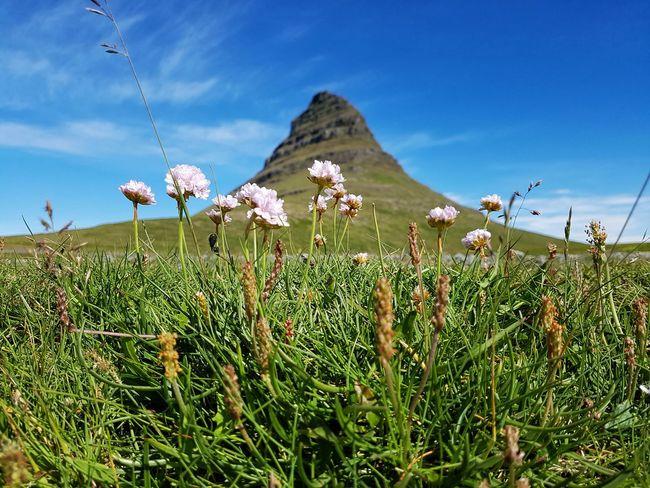 Mountain Kirkjufell Beauty In Nature Tourist Attraction  Iceland Flower Mountain Flower Head Rural Scene Uncultivated Sky Landscape Grass Plant In Bloom Mountain Range Wildflower