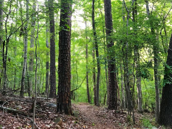 Trails of North Carolina Tree Plant Forest Land Growth Tranquility Green Color Day Scenics - Nature Tree Trunk WoodLand Sunlight Beauty In Nature Landscape Nature Tranquil Scene Trunk Non-urban Scene Lush Foliage No People